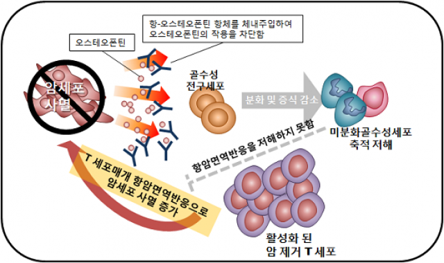 오스테오폰틴의 항체를 투여하면 오스테오폰틴의 작용이 차단되면서 미분화 골수성 세포의 축적이 저해된다. 암제거 T세포를 저해하던 골수성세포의 축적이 저해됨으로써, T세포가 활성화돼 암세포를 사멸한다. - 서울대 약대 제공